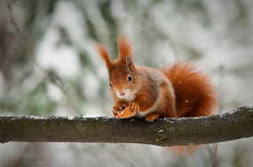 red-squirrels